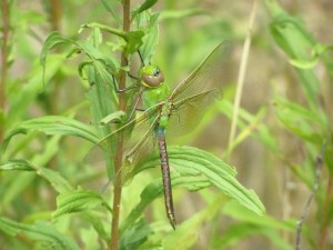 commongreendarner-female