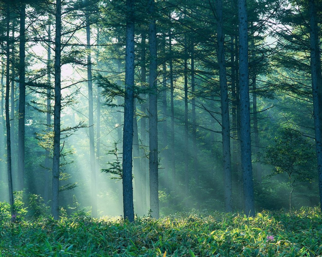 Sunlight Shining Through Forest Nagano-ken, Japan