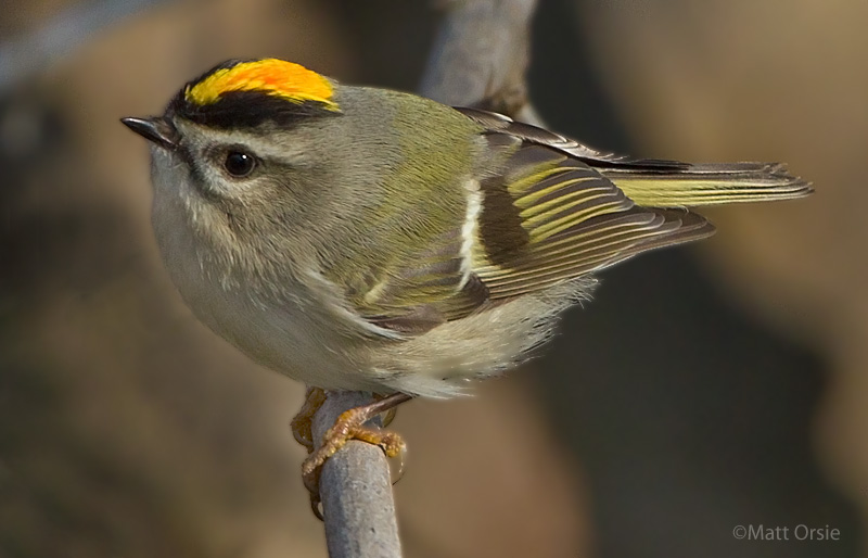 Bird - Golden-crowned Kinglet